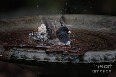 Junco In The Birdbath Poster by Carol Ailles