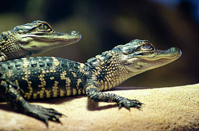 Juvenile American Alligator Poster