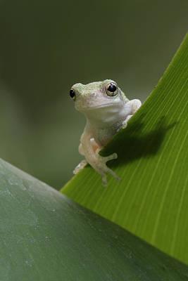 Juvenile Grey Treefrog Poster by Daniel Reed