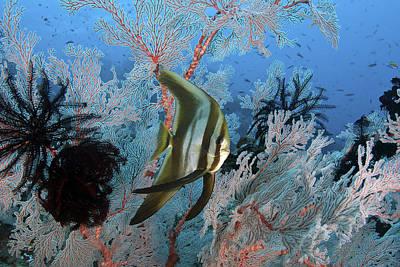 Juvenile Longfin Spadefish Poster by Jones/Shimlock-Secret Sea Visions