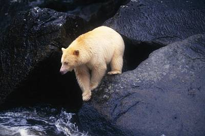 Kermode Bear On Boulder Hunting Salmon Poster