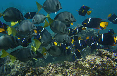 King Angelfish Holacanthus Passer Poster by Pete Oxford