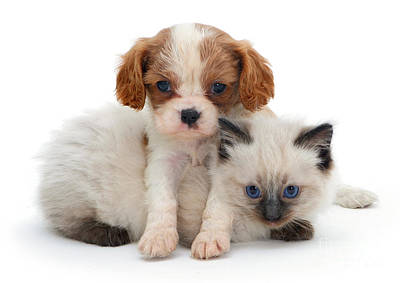 King Charles Spaniel And Ragdoll Kitten Poster by Jane Burton