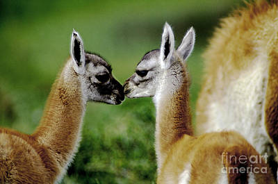 Poster featuring the photograph Kissing Guanacos - Torres Del Paine Np Chile by Craig Lovell