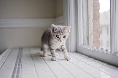 Kitten By Window Poster by Cindy Loughridge