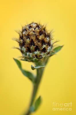 Knapweed Plant Poster
