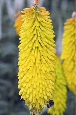 Kniphofia 'spanish Gold' Poster by Dr Keith Wheeler