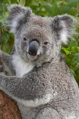 Koala Phascolarctos Cinereus, Australia Poster by Ingo Arndt