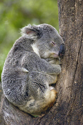 Koala Phascolarctos Cinereus Sleeping Poster by Pete Oxford