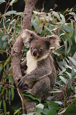 Koala Phascolarctos Cinereus Young Male Poster by Gerry Ellis