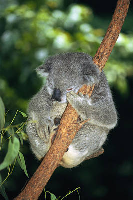 Koala Sleeping Poster by Georgette Douwma
