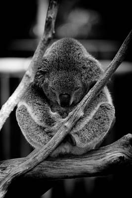 Koala Sleeping On Branch Poster by Craig P. Jewell