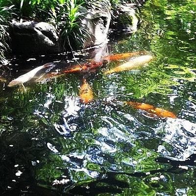 #koi #pond #water #nishikigoi #carp Poster