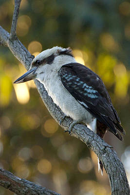 Poster featuring the photograph Kookaburra by Serene Maisey