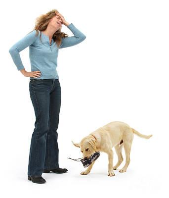Labrador Golden Retriever Pup Chewing Poster