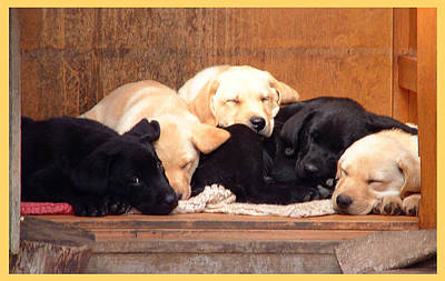 Labrador Puppies Sleeping Poster by Richard James Digance