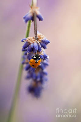Ladybird And Lavender Poster by John Edwards