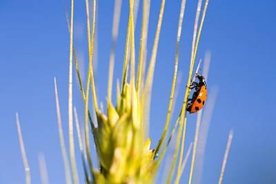 Ladybug On Wheat Poster