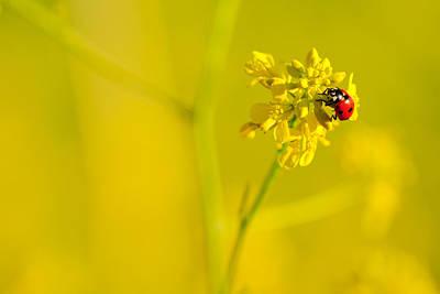Ladybug On Yellow Flower Poster
