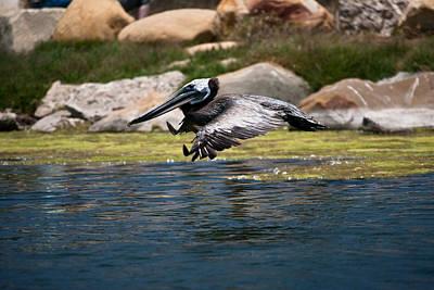 landing Pelican Poster