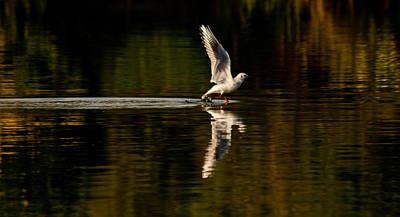 Landing Seagull Poster