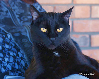 Lap Cat Poster by Carolyn Krek