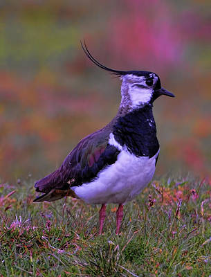 Lapwing Poster by Alex Hardie