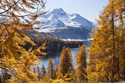 Larch Trees By Lake Sils And Piz De La Margna, Engadin, Switzerland Poster