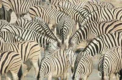 Large Group Of Zebra (equus Burchelli) At Waterhole - Full Frame Poster by Richard du Toit
