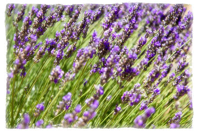 Poster featuring the photograph Lavender 2 by Ryan Weddle