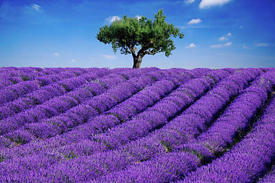 Lavender Field And Tree Poster by Matteo Colombo