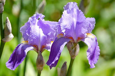 Poster featuring the photograph Lavender Iris II by Mary McAvoy