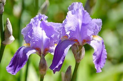 Lavender Iris II Poster
