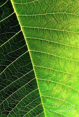 Leaf Texture Poster by Carlos Caetano