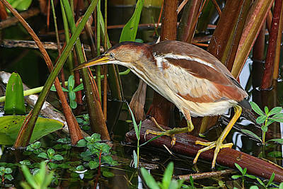 Least Bittern In The Open Poster