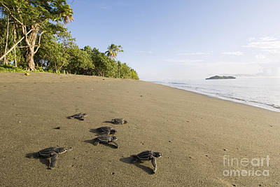 Leatherback Turtling Hatchlings  Poster by Matthew Oldfield and Scubazoo and Photo Researchers
