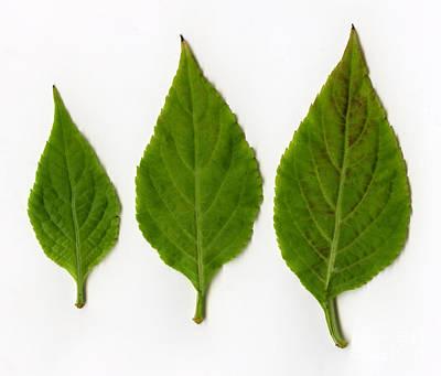 Leaves Of Diviners Sage Salvia Divinorum Poster by Ted Kinsman