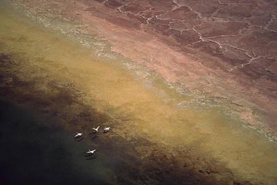 Lesser Flamingo Flock Of Four Flying Poster