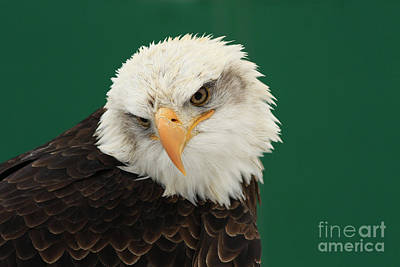 Liberty- American Bald Eagle Poster