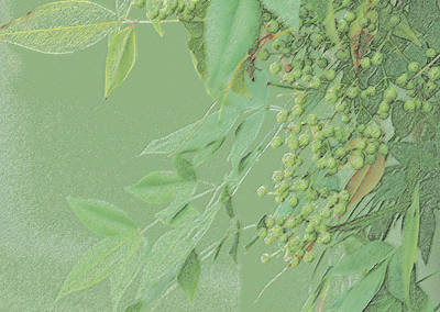 Light Green Monotone Berries Poster by Linda Phelps