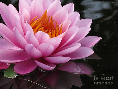 Lily Reflections Poster by Brenda Combs