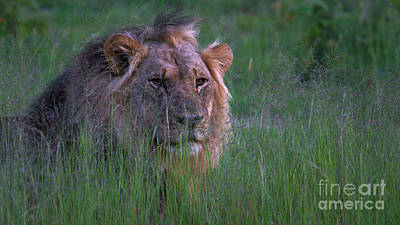 Lion In Grass Poster
