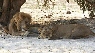 Lions Sleep Poster