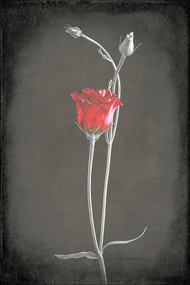 Lisianthus Poster by Fiona Messenger