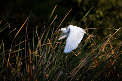 Little Blue Heron Before The Change To Blue Poster by Steven Sparks
