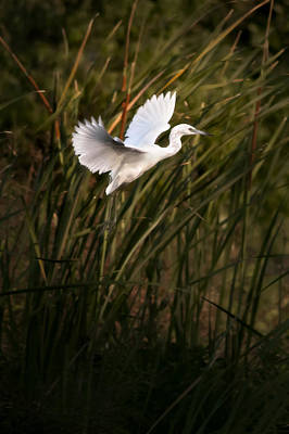 Little Blue Heron On Approach Poster by Steven Sparks