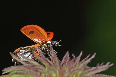 Little Ladybug Poster