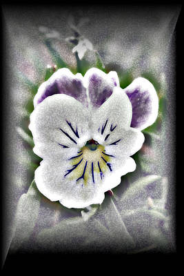 Poster featuring the photograph Little Pansy by Karen Harrison