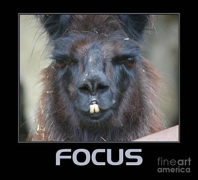 Llama Focus Poster by Smilin Eyes  Treasures