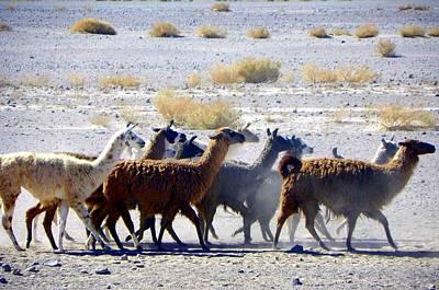 Llamas  Atacama Desert Poster by Sandra Lira